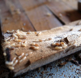 Live termites feasting on a wood floor inside a home.